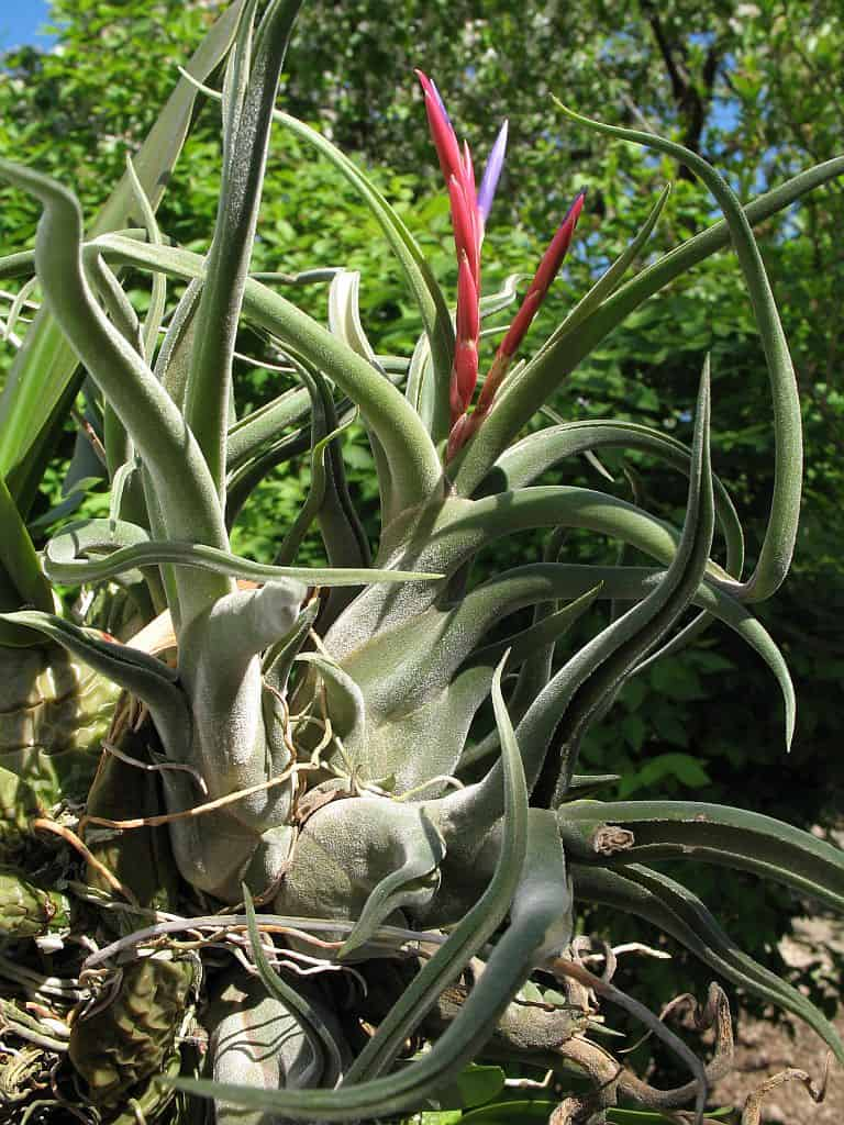 Large Caput Medusae Air Plant Curly//velvet Care Info Included Blooming Soon